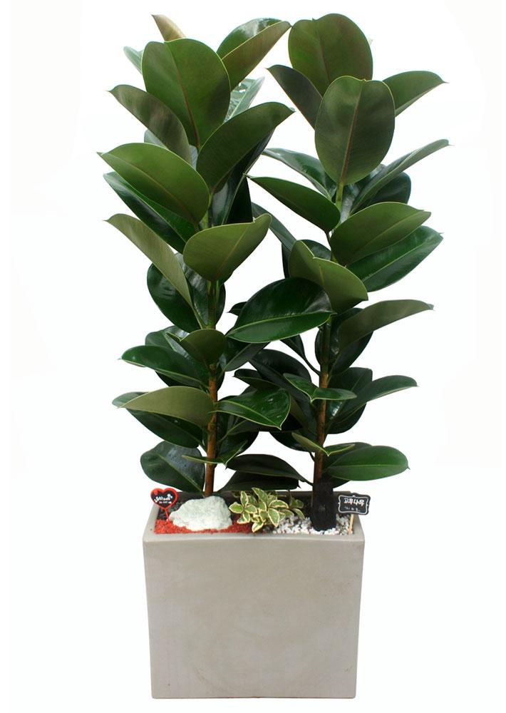 인도고무나무-개업화분