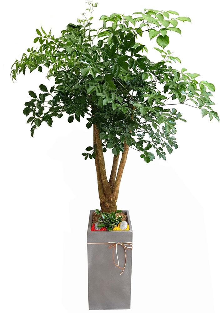 개업화분 해피트리나무