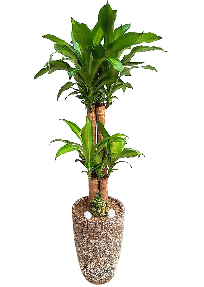 행운목-실내공기정화식물