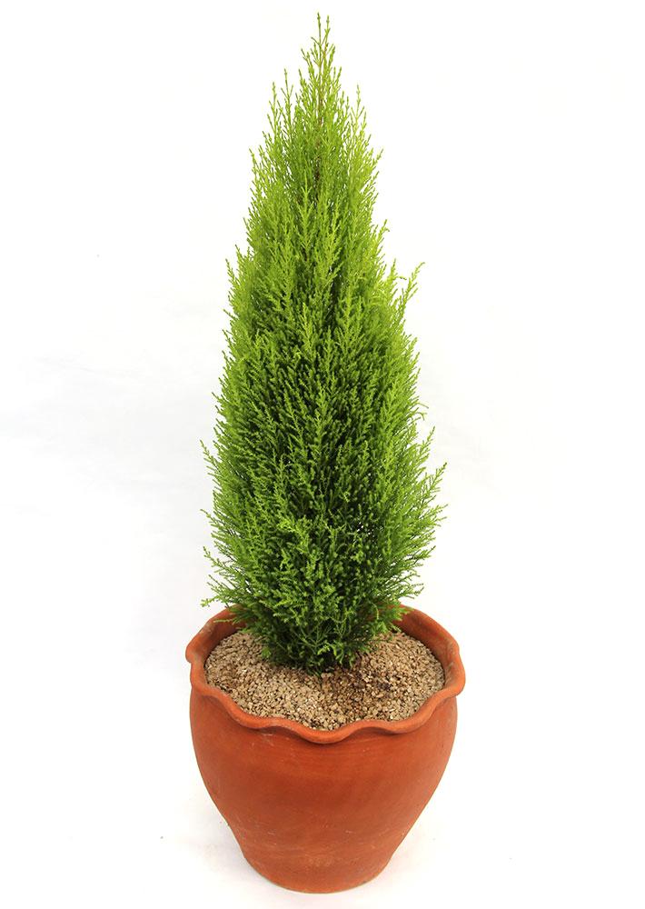 율마 아로마식물